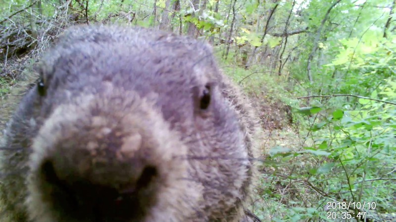 Check out another cute groundhog clip
