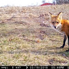 Female Fox