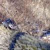 Opossum crossing log