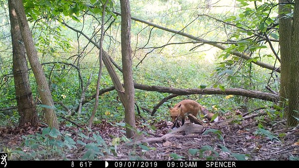 Red Fox catches a squirrel