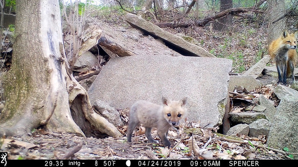 Red fox pup with mother fox