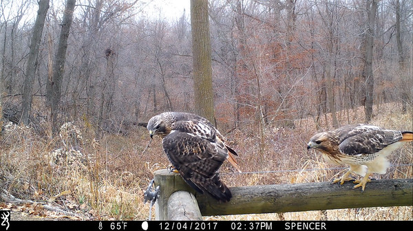 A pair of Redtailed Hawks