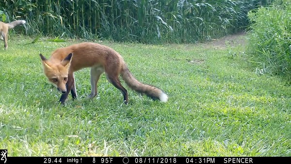 Daddy Fox with one of the pups