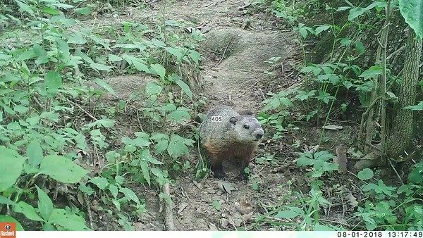 Young Groundhog