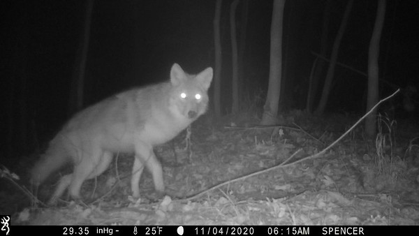 Coyote taking a bite out of the camera