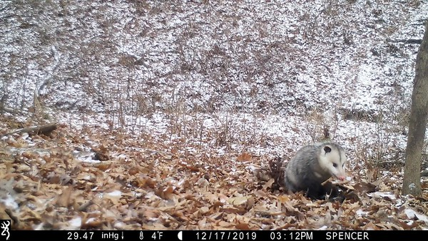 Opossum gathering leaves for its nest