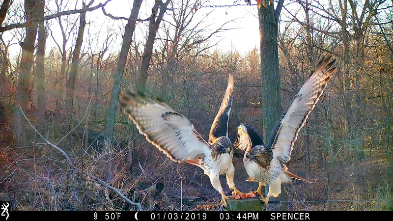 Pair of Redtailed Hawks