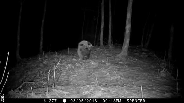 Raccoon grooming itself