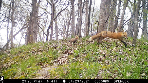 First glimpes of Red Fox pups!