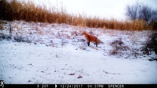 Christmas Eve Fox