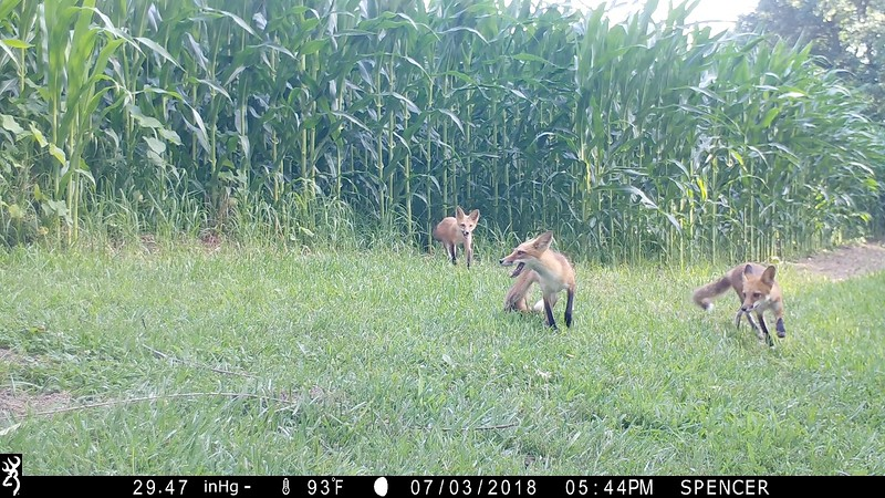 Mother and Father fox with one of their babies
