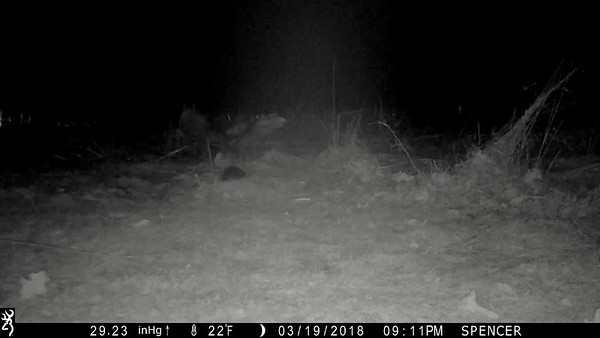 Barred Owl misses the mouse