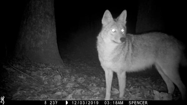 Coyotes trigger 4 cameras