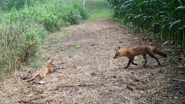Two fox pups
