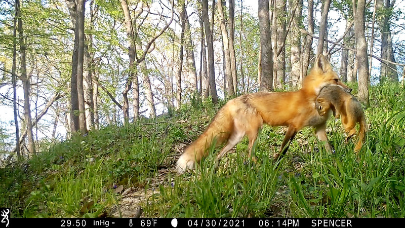 Mother Fox providing food for her pups