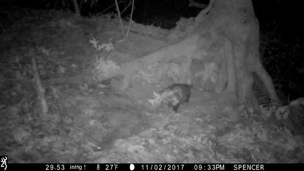Opossum building a winter nest
