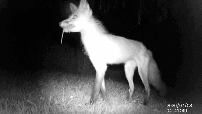 Red Fox with a mouse