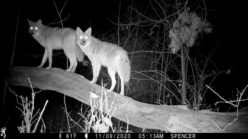 Beautiful Coyotes