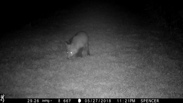 Nighttime clip showing one of the fox pups