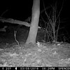 Opossum carrying nesting material with its tail.