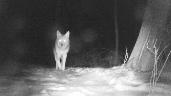 Two coyotes pass the trail camera