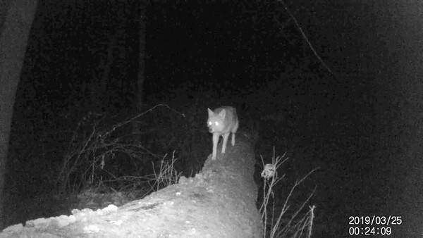Coyote walking on a downed tree across a creek