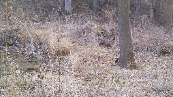 Watch who peeks out of the brush pile