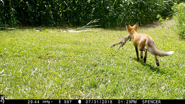 Fox pup with a squirrel