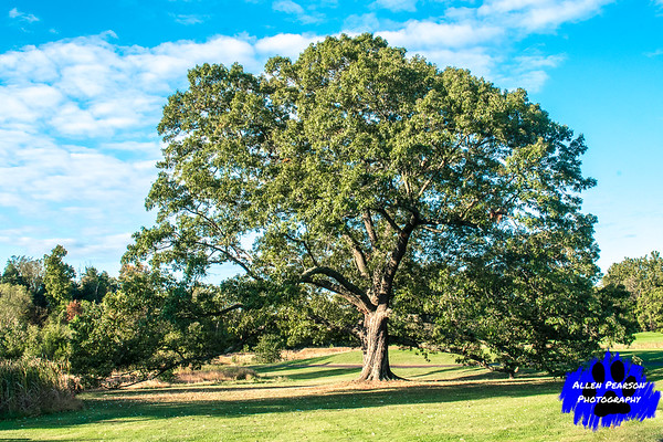 A Southern Red Oak in Summer