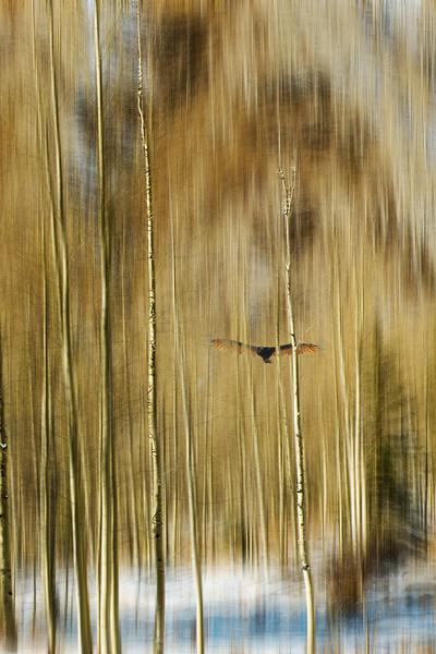 Aspens in Aspen and the Hawk.