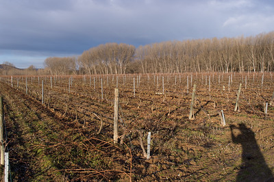 Younger vines in Rioja.