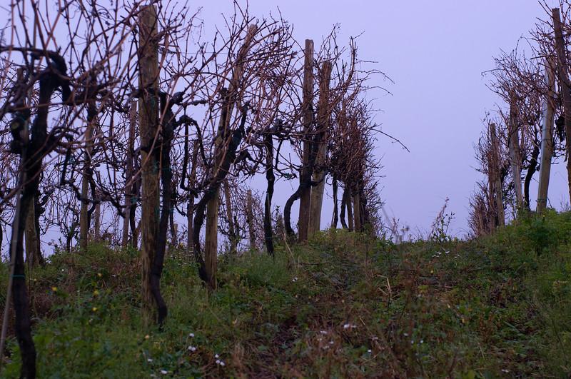 Winter in Ameztoi's vineyards in Txakolina.