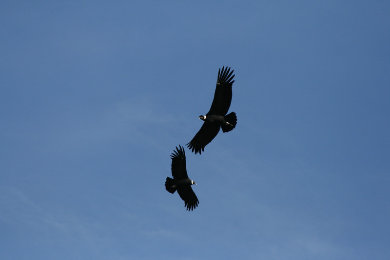 Torres del Paine National Park, Chile. 2009. Pair of Andean condors.