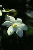 Gardenia brighamii, Hawaii.