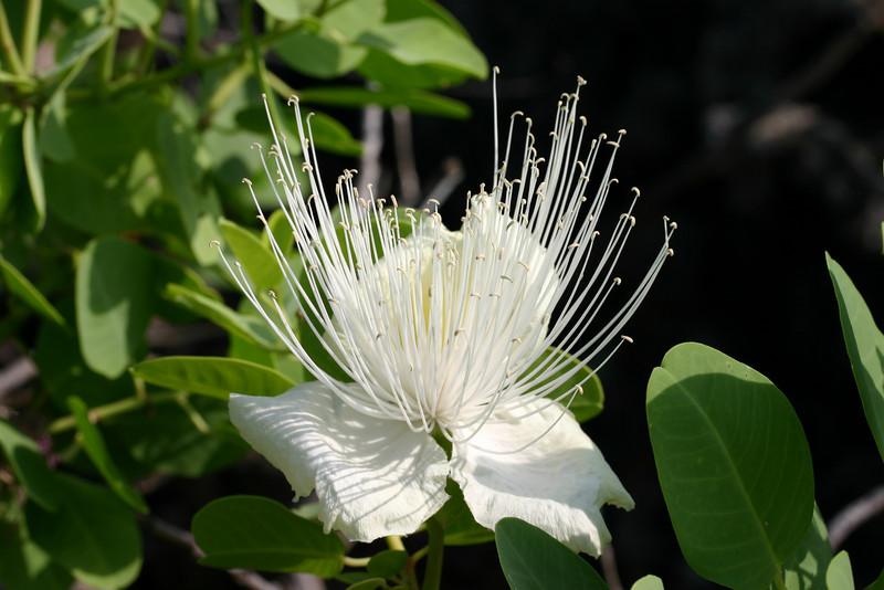 Capparis sandwicensis, Hawaii.
