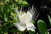 Capparis sandwicensis, Hawaii.