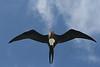 Frigate bird. Midway Atoll NWR.