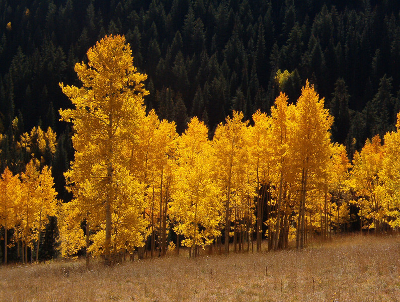 Aspens, Maroon Creek, Colorado.