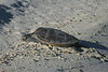 Turtle, Eastern Island, Midway Atoll.