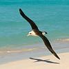 Laysan albatross, Midway Atoll National Wildlife Refuge, HI