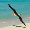 Laysan albatross, Midway Atoll National Wildlife Refuge, HI