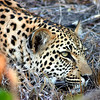 Leopard in Ngala Game Reserve, South Africa