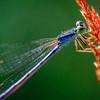 Damsel Dragonfly