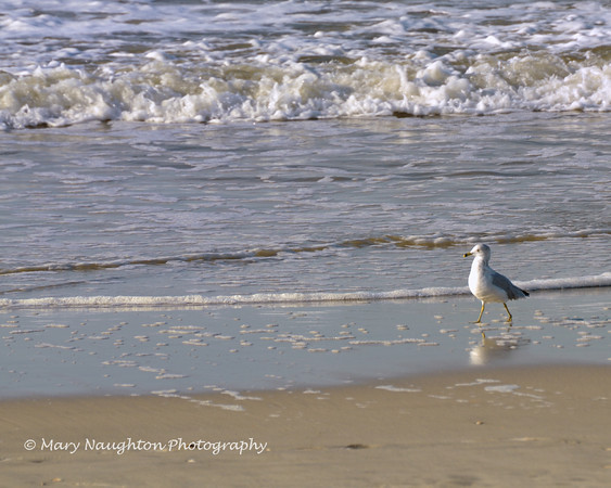 Gull walking the beach, Long Beach, NY