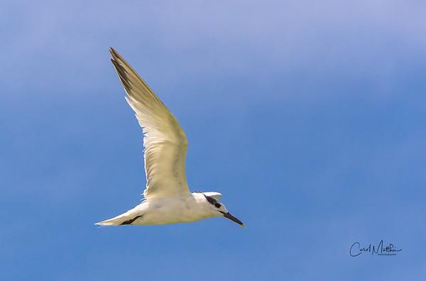 tern above me