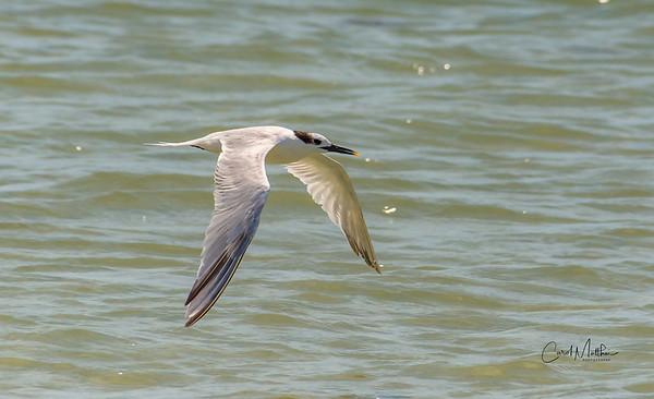 low flying tern