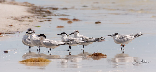 Terns on the surf