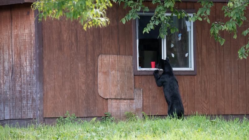 Wild Black Bears