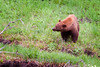 Ole Blue Eyes - 'Cinnamon' colored black bear with blue eyes - verified by a Park Ranger
