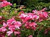Betty Prior Roses